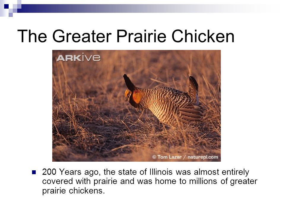 The Greater Prairie Chicken 200 Years ago, the state of Illinois was almost entirely covered with prairie and was home to millions of greater prairie chickens.