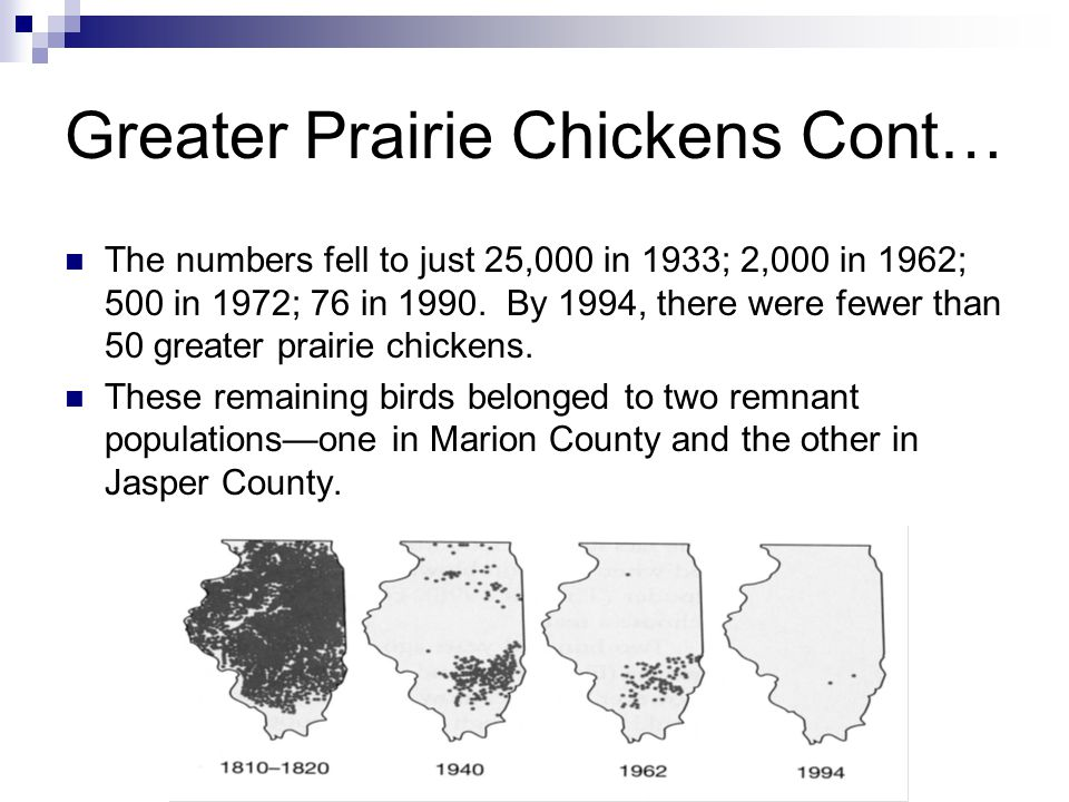 Greater Prairie Chickens Cont… The numbers fell to just 25,000 in 1933; 2,000 in 1962; 500 in 1972; 76 in 1990.