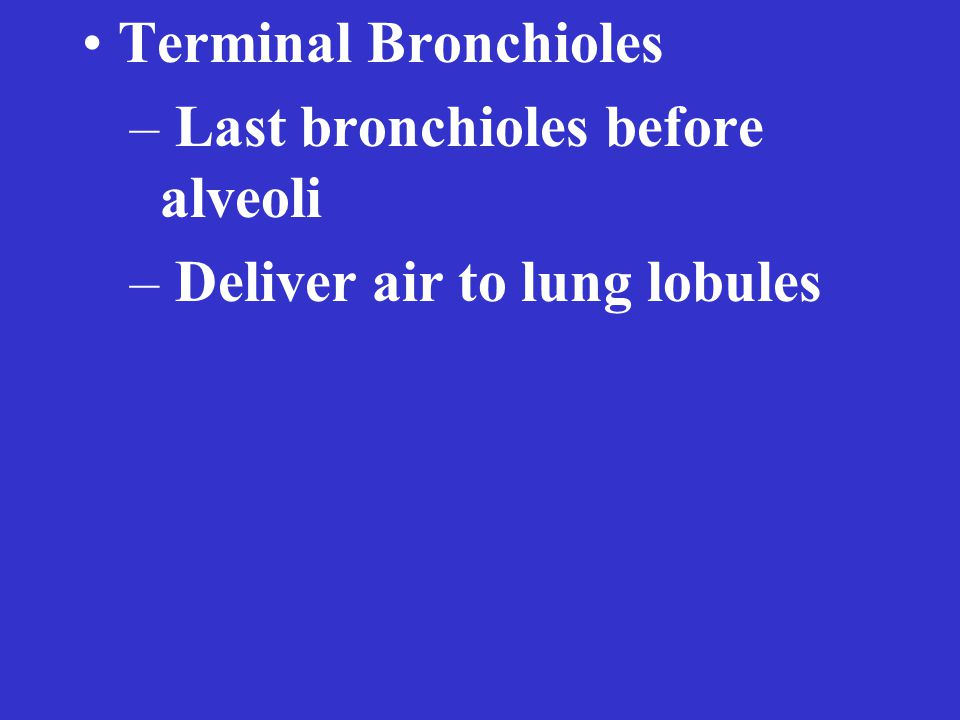 Terminal Bronchioles – Last bronchioles before alveoli – Deliver air to lung lobules