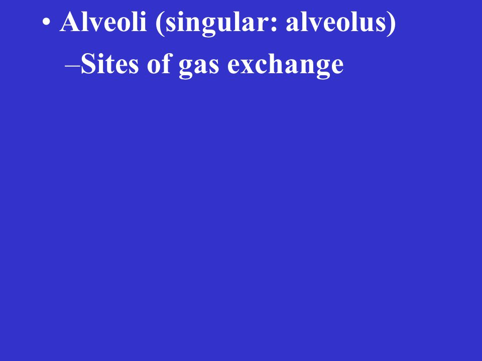 Alveoli (singular: alveolus) –Sites of gas exchange