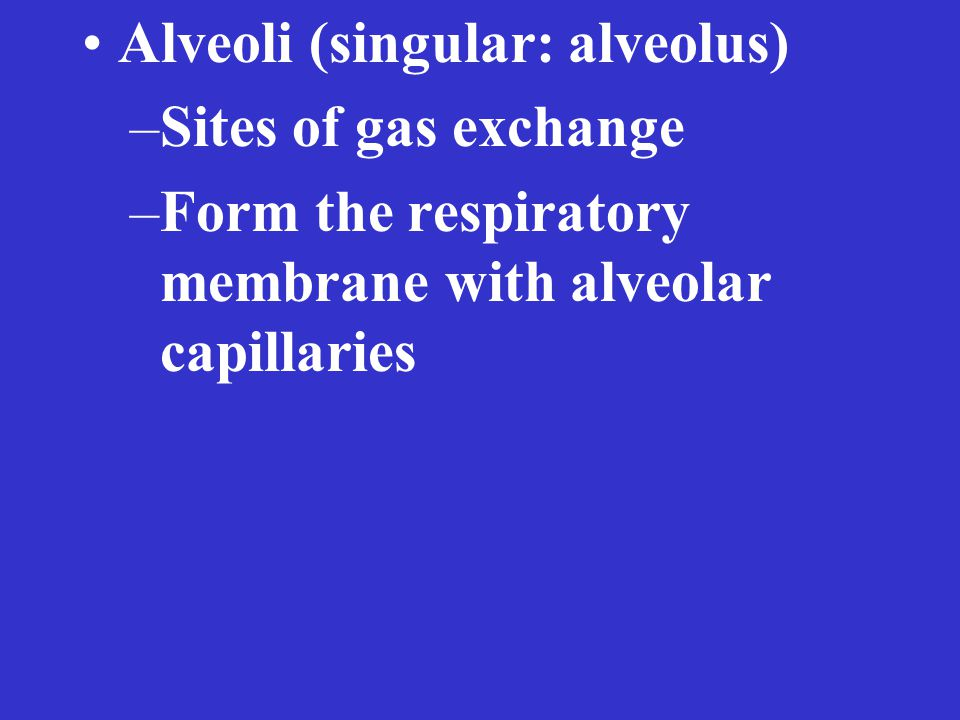 Alveoli (singular: alveolus) –Sites of gas exchange –Form the respiratory membrane with alveolar capillaries