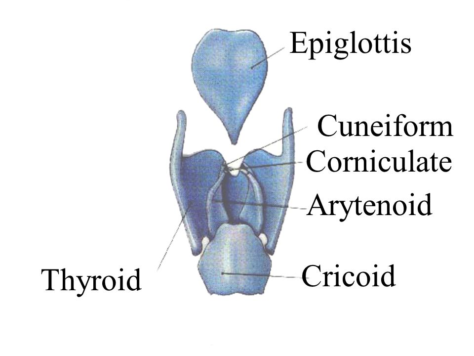 Epiglottis Arytenoid Corniculate Cricoid Thyroid Cuneiform