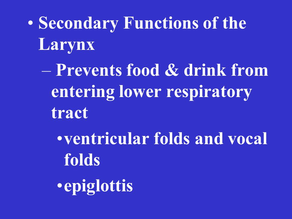 Secondary Functions of the Larynx – Prevents food & drink from entering lower respiratory tract ventricular folds and vocal folds epiglottis