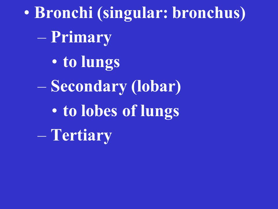 Bronchi (singular: bronchus) – Primary to lungs – Secondary (lobar) to lobes of lungs – Tertiary