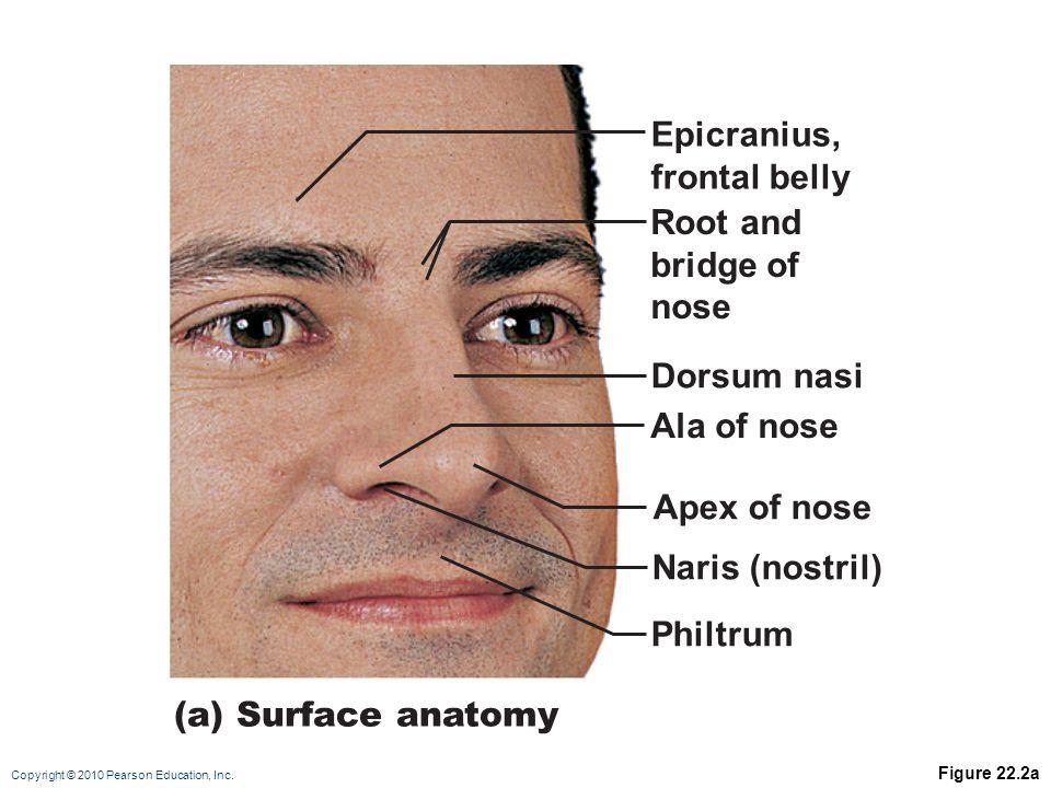 Facial Surface Anatomy Image collections - human anatomy diagram organs