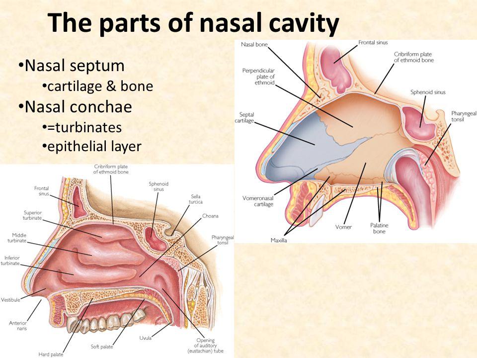 Fantastic Anatomy Of Eustachian Tube And Sinuses Images - Anatomy ...