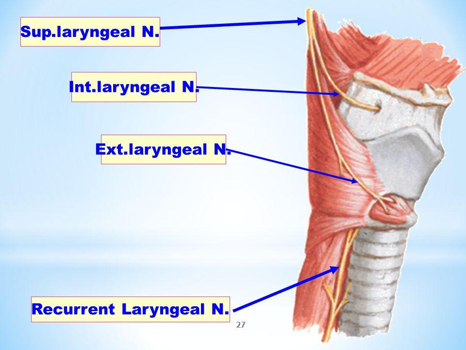 Nett Larynx Zeitgenssisch Anatomie Ideen Finottifo