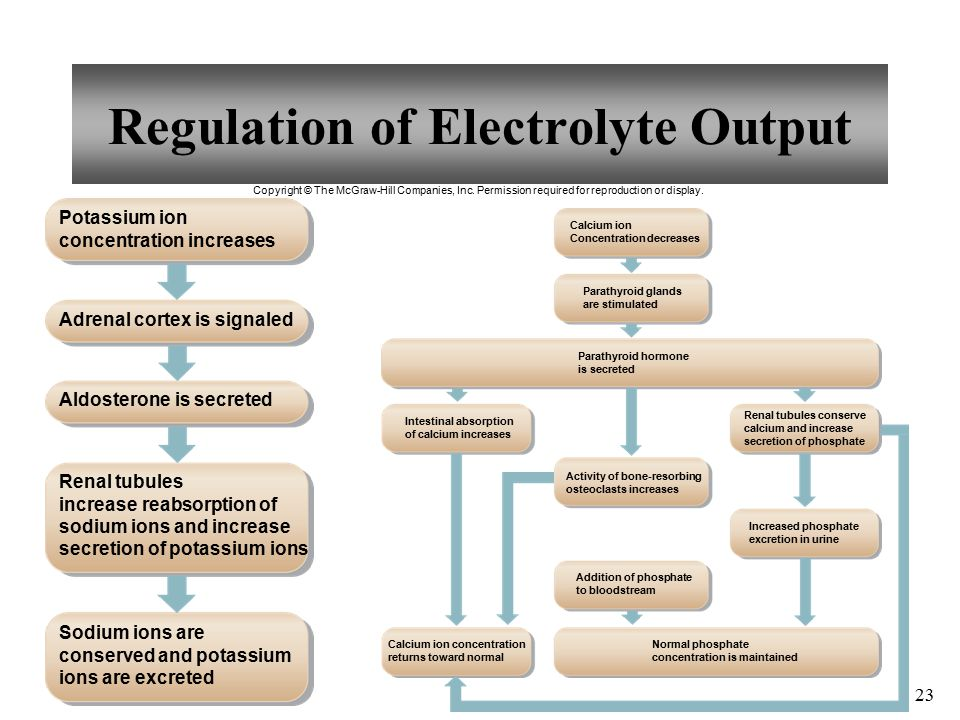 Regulation of Electrolyte Output 23 Copyright © The McGraw-Hill Companies, Inc.