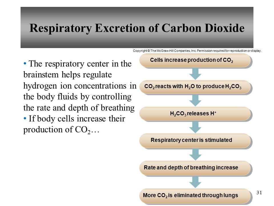 31 The respiratory center in the brainstem helps regulate hydrogen ion concentrations in the body fluids by controlling the rate and depth of breathing If body cells increase their production of CO 2 … Respiratory Excretion of Carbon Dioxide Cells increase production of CO 2 CO 2 reacts with H 2 O to produce H 2 CO 3 H 2 CO 3 releases H + Respiratory center is stimulated Rate and depth of breathing increase More CO 2 is eliminated through lungs Copyright © The McGraw-Hill Companies, Inc.