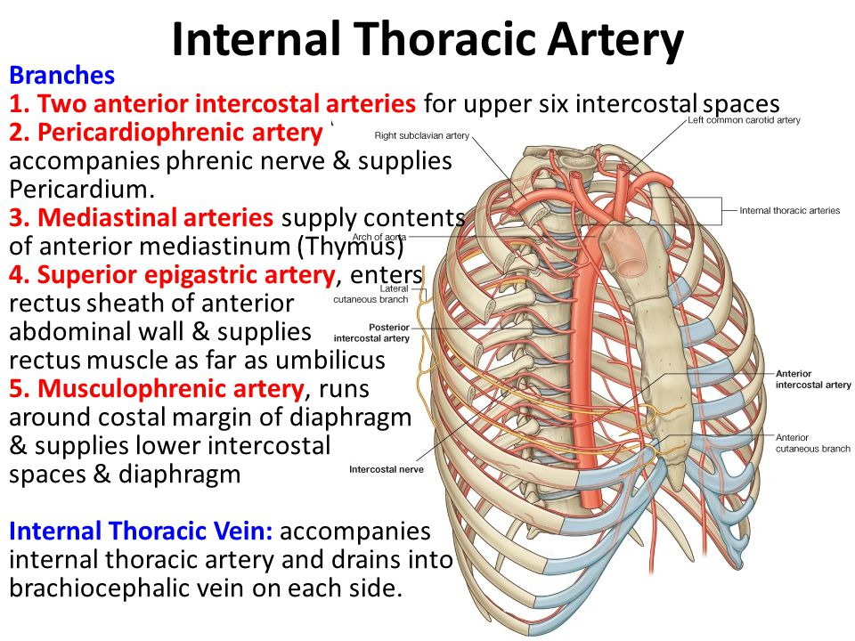 Dorable Intercostal Artery Anatomy Frieze - Human Anatomy Images ...