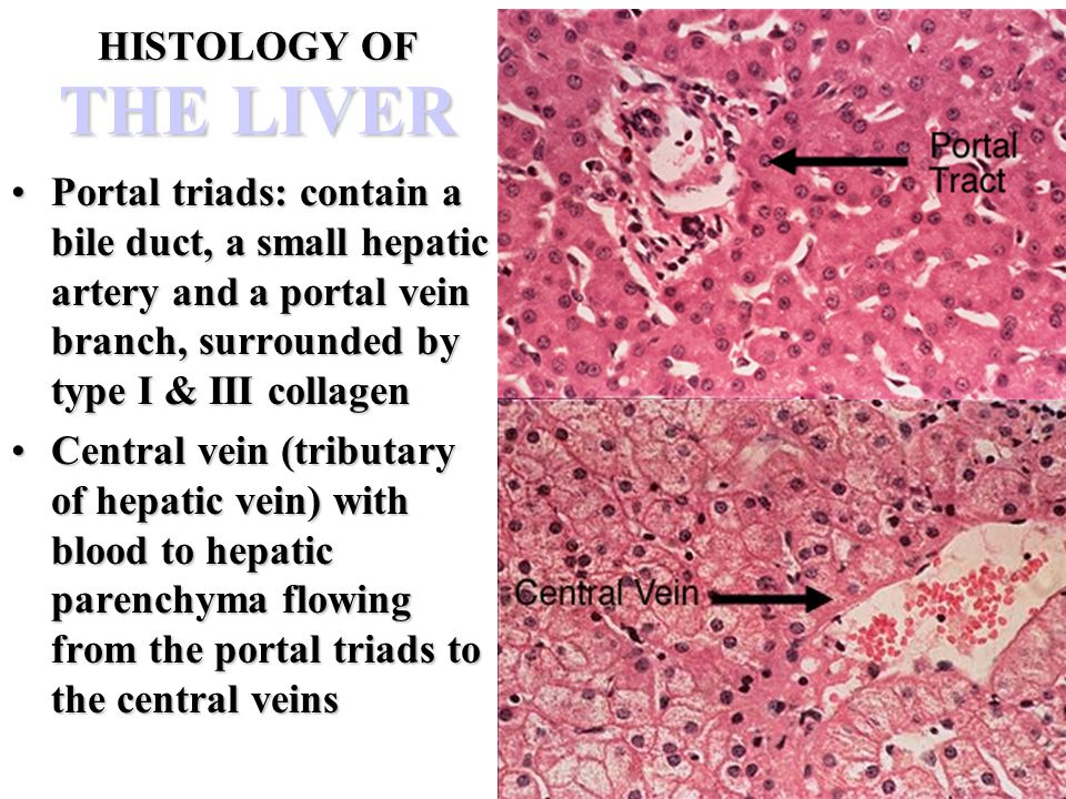 Portal triad central vein