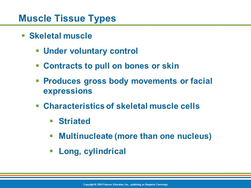 Copyright © 2009 Pearson Education, Inc., publishing as Benjamin Cummings Muscle Tissue Types  Skeletal muscle  Under voluntary control  Contracts to pull on bones or skin  Produces gross body movements or facial expressions  Characteristics of skeletal muscle cells  Striated  Multinucleate (more than one nucleus)  Long, cylindrical