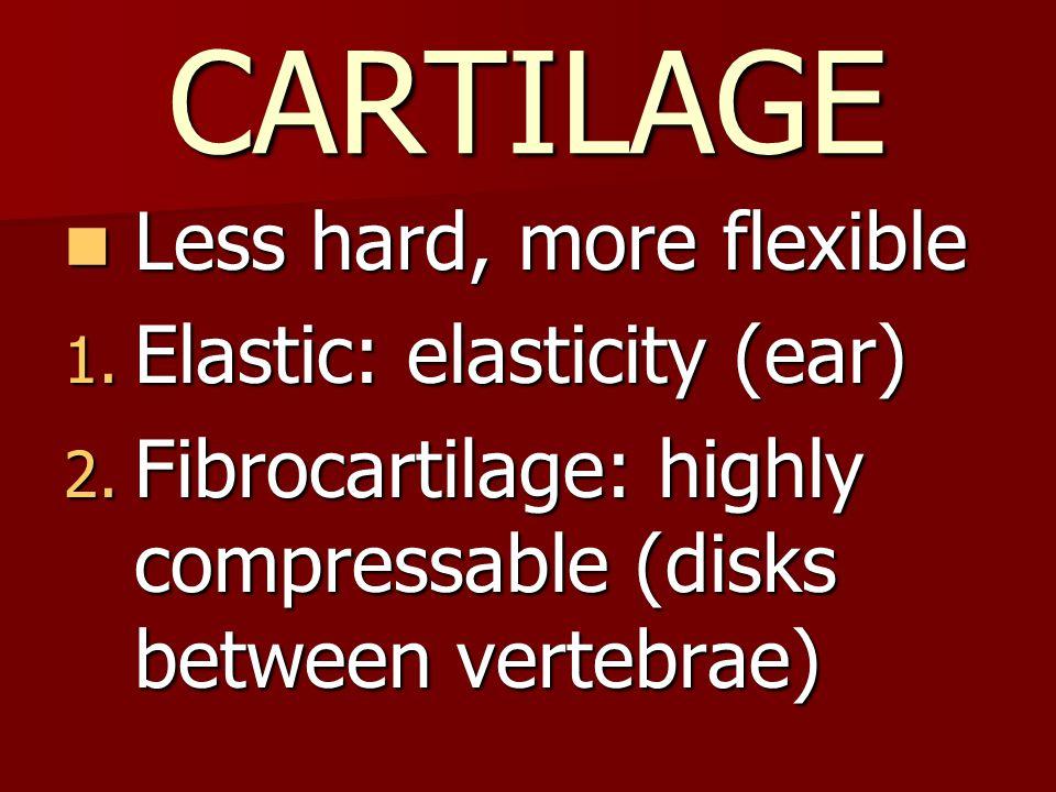 CARTILAGE Less hard, more flexible Less hard, more flexible 1.