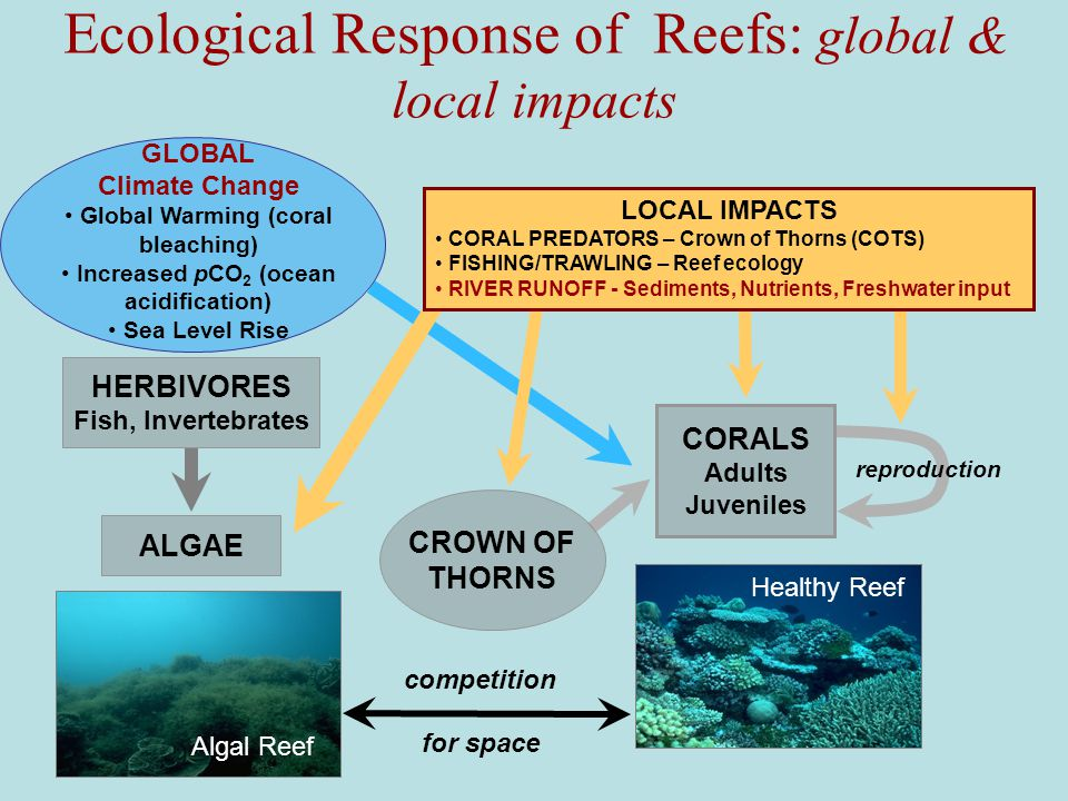 Ecological Response of Reefs: global & local impacts ALGAE Algal Reef GLOBAL Climate Change Global Warming (coral bleaching) Increased pCO 2 (ocean acidification) Sea Level Rise HERBIVORES Fish, Invertebrates competition CROWN OF THORNS reproduction CORALS Adults Juveniles for space Healthy Reef LOCAL IMPACTS CORAL PREDATORS – Crown of Thorns (COTS) FISHING/TRAWLING – Reef ecology RIVER RUNOFF - Sediments, Nutrients, Freshwater input