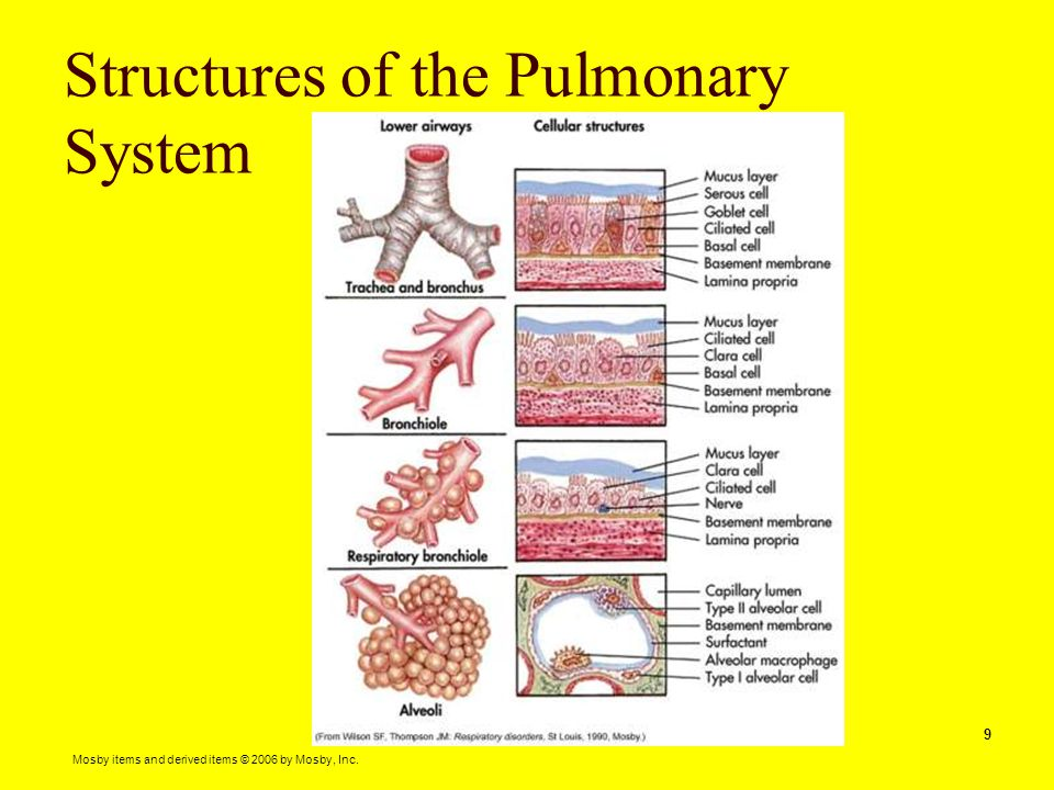Mosby items and derived items © 2006 by Mosby, Inc. 9 Structures of the Pulmonary System