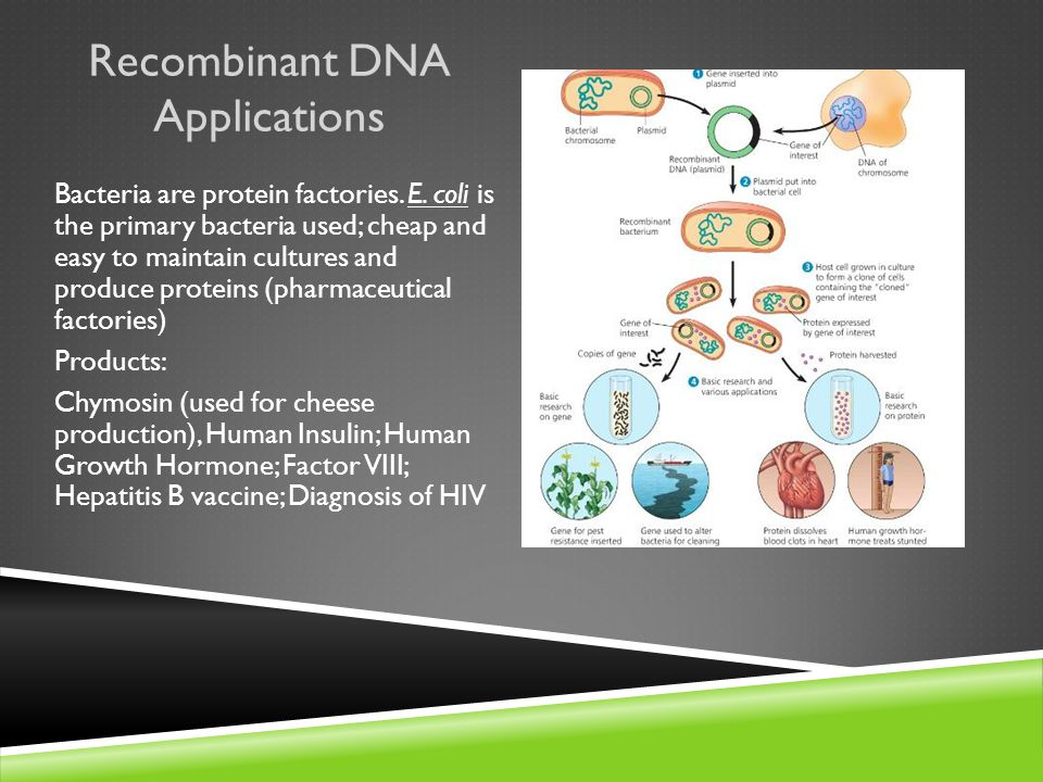 Recombinant DNA Applications Bacteria are protein factories.