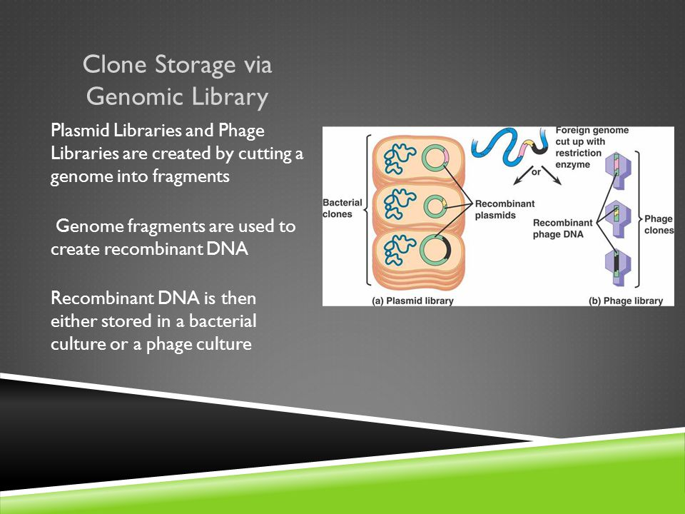 Clone Storage via Genomic Library Plasmid Libraries and Phage Libraries are created by cutting a genome into fragments Genome fragments are used to create recombinant DNA Recombinant DNA is then either stored in a bacterial culture or a phage culture