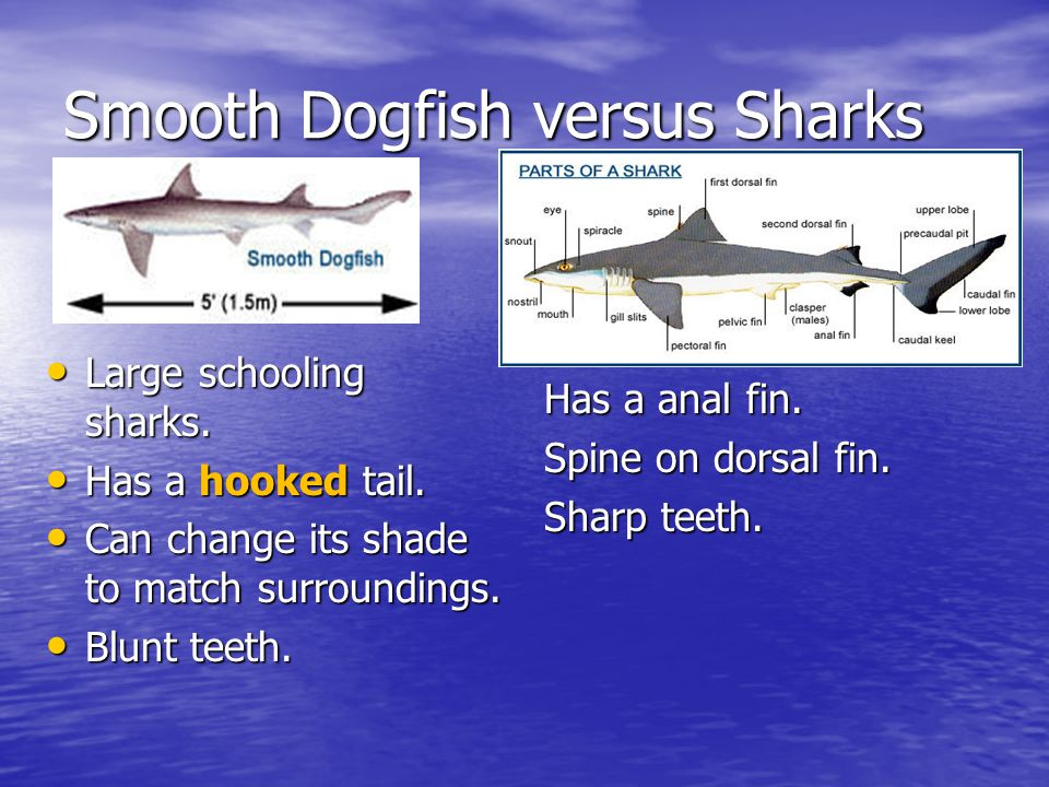 Smooth Dogfish Smooth Dogfish Versus Sharks