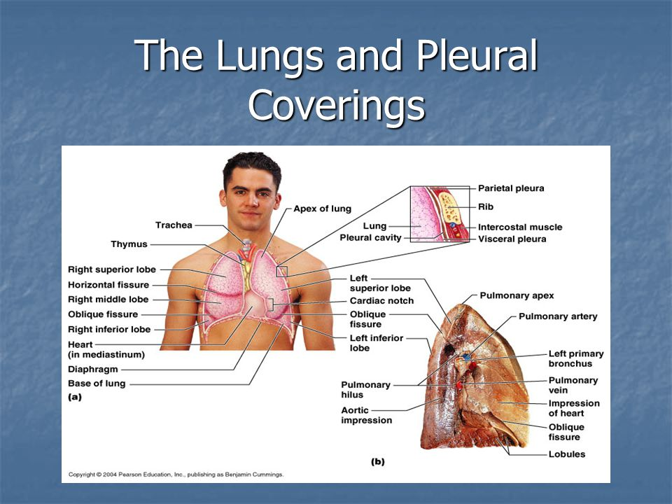 The Lungs and Pleural Coverings