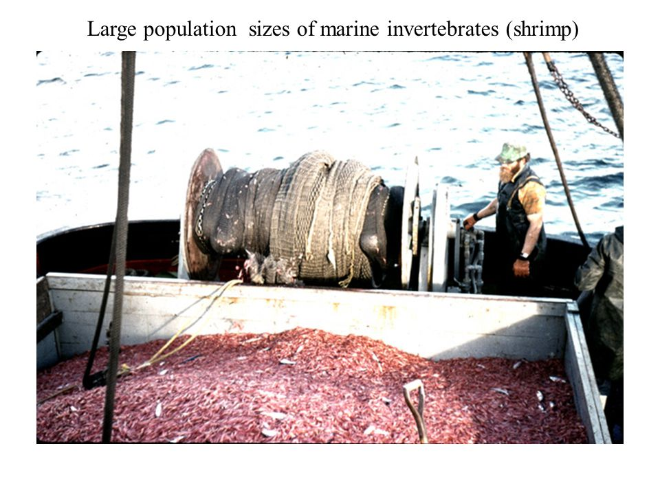 Large population sizes of marine invertebrates (shrimp)