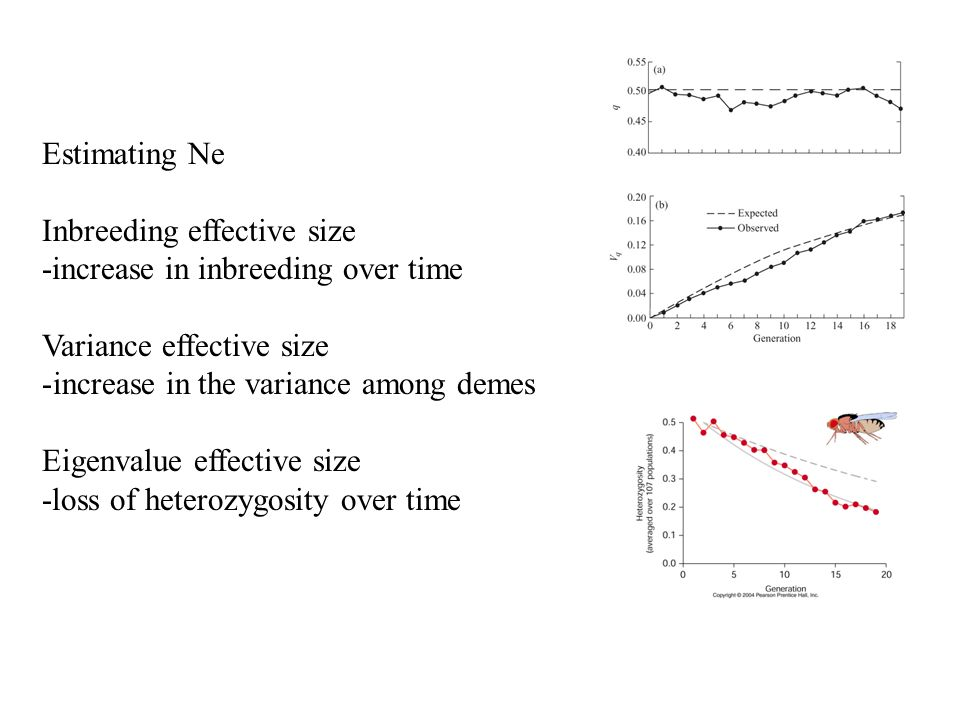 Estimating Ne Inbreeding effective size -increase in inbreeding over time Variance effective size -increase in the variance among demes Eigenvalue effective size -loss of heterozygosity over time