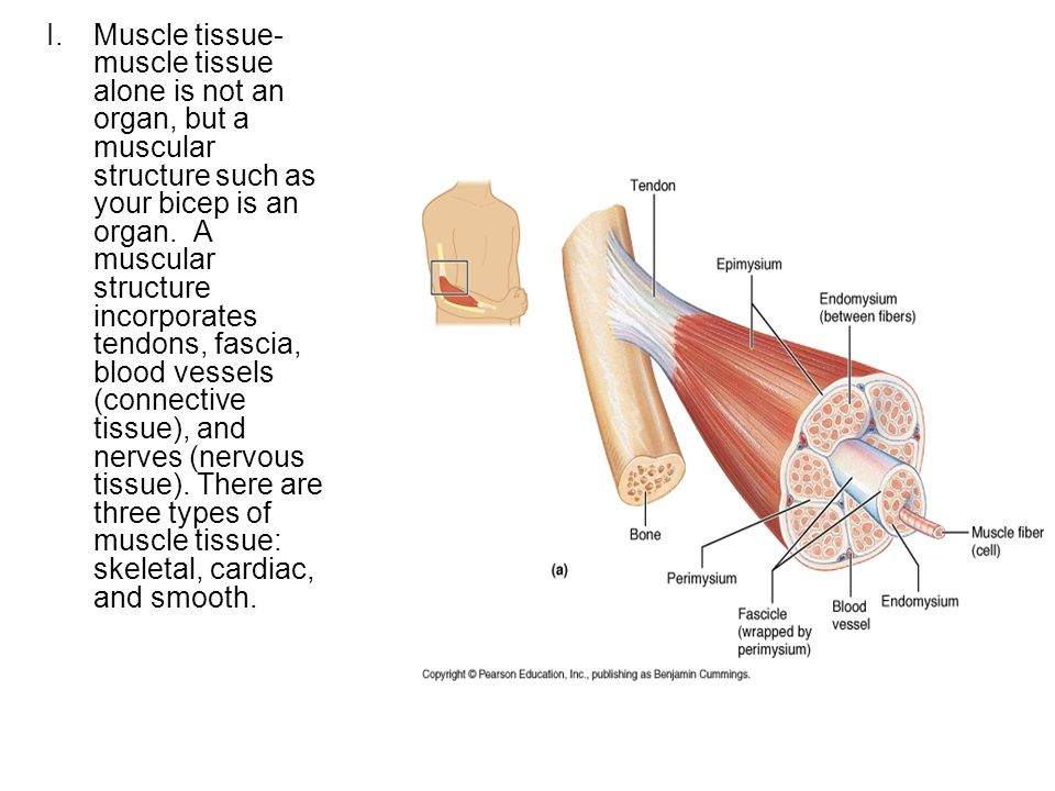 Cells – muscle cells  Tissue – muscle tissue  Organ – muscles ...