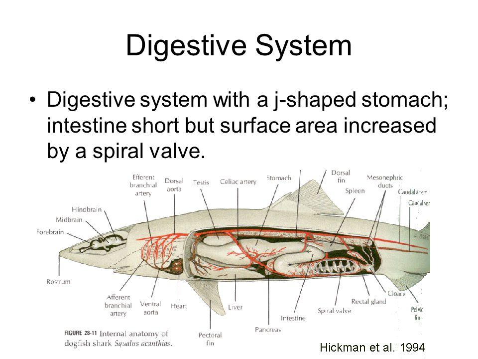 Shark internal anatomy