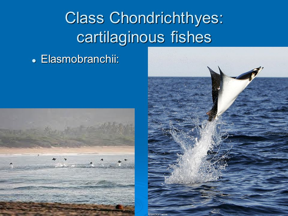 Class Chondrichthyes: cartilaginous fishes Elasmobranchii: Elasmobranchii: