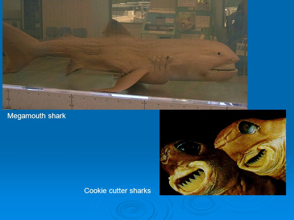 Megamouth shark Cookie cutter sharks