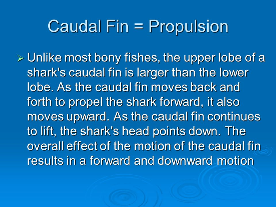 Caudal Fin = Propulsion  Unlike most bony fishes, the upper lobe of a shark s caudal fin is larger than the lower lobe.