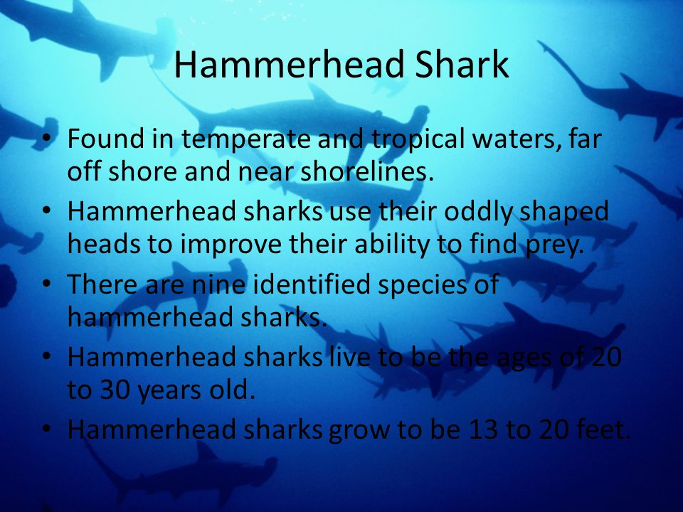 Great White Shark Great White Sharks are the largest predatory fish in the sea.