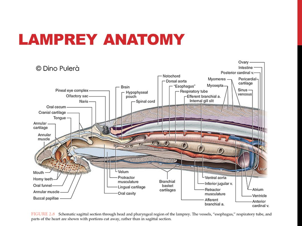 Sea Lamprey Diagram Affordable Lamprey Gill Area With Sea Lamprey