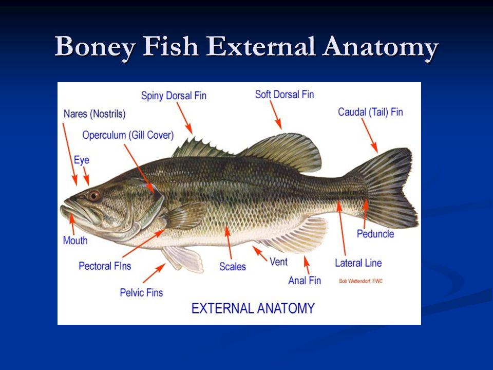 Bony fish external anatomy