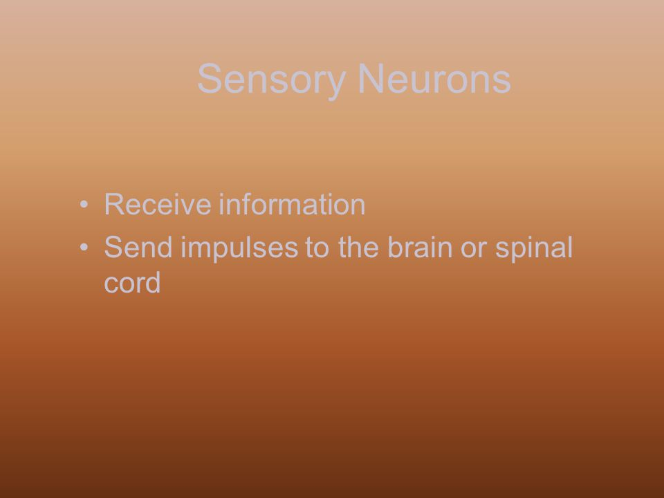 Sensory Neurons Receive information Send impulses to the brain or spinal cord
