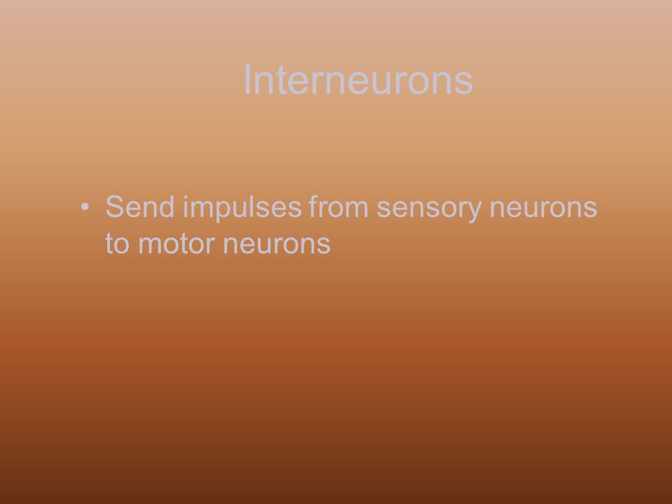 Interneurons Send impulses from sensory neurons to motor neurons