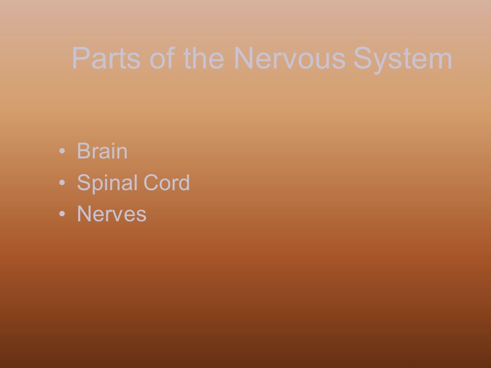 Parts of the Nervous System Brain Spinal Cord Nerves