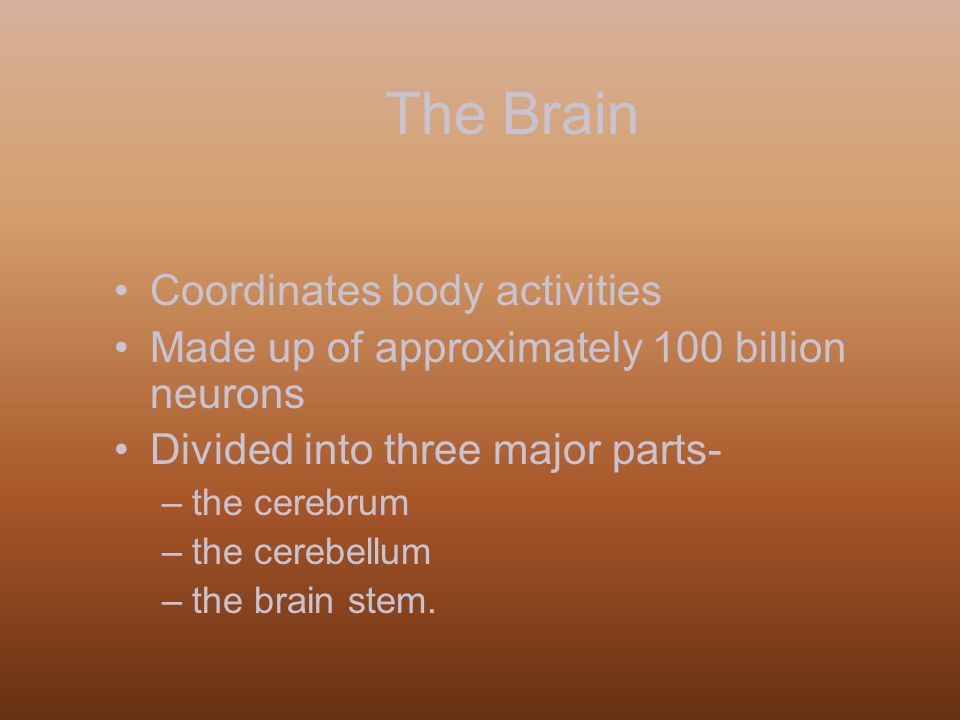 The Brain Coordinates body activities Made up of approximately 100 billion neurons Divided into three major parts- –the cerebrum –the cerebellum –the brain stem.