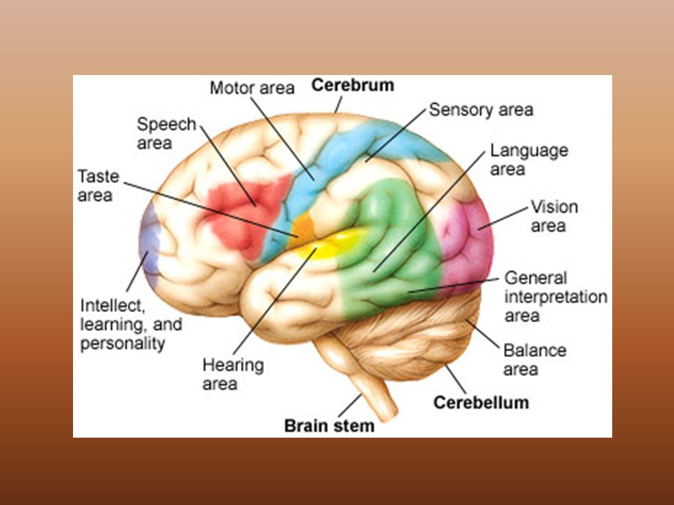 Nervous system parts of the nervous system brain spinal cord nerves 24 cerebrum largest part of the brain thinking memory is stored movements are controlled impulses from the senses are interpreted ccuart Images