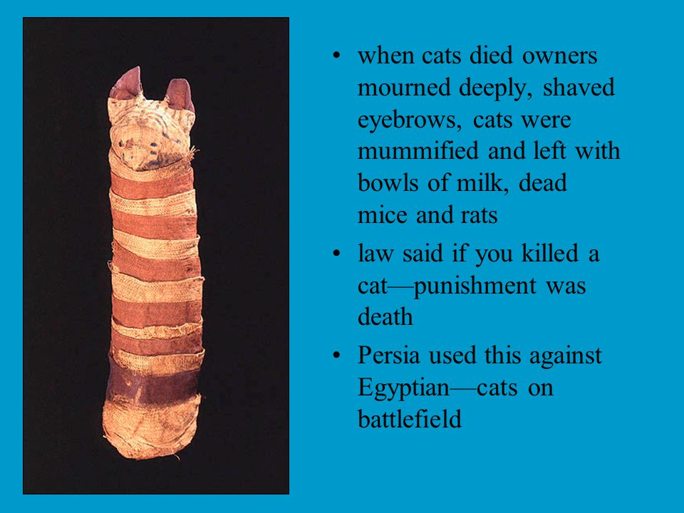 when cats died owners mourned deeply, shaved eyebrows, cats were mummified and left with bowls of milk, dead mice and rats law said if you killed a cat—punishment was death Persia used this against Egyptian—cats on battlefield