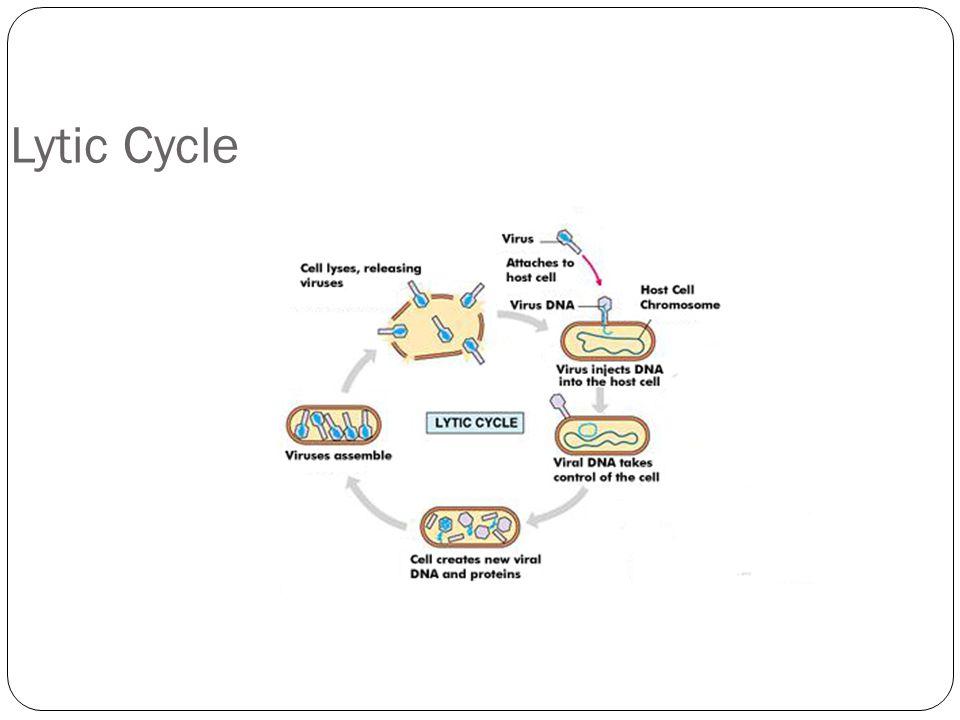 Varicella zoster virus life cycle