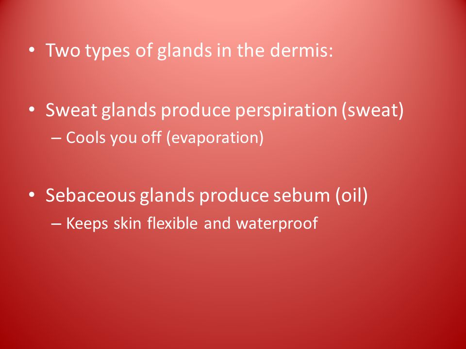 Two types of glands in the dermis: Sweat glands produce perspiration (sweat) – Cools you off (evaporation) Sebaceous glands produce sebum (oil) – Keeps skin flexible and waterproof
