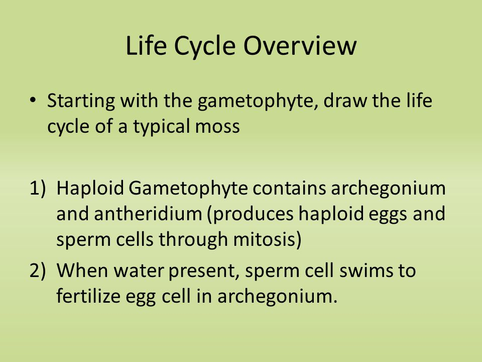 Life Cycle Overview Starting with the gametophyte, draw the life cycle of a typical moss 1)Haploid Gametophyte contains archegonium and antheridium (produces haploid eggs and sperm cells through mitosis) 2)When water present, sperm cell swims to fertilize egg cell in archegonium.