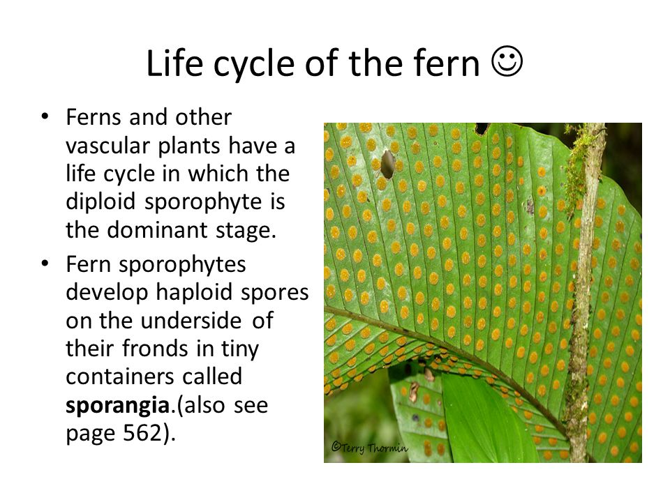 Life cycle of the fern Ferns and other vascular plants have a life cycle in which the diploid sporophyte is the dominant stage.