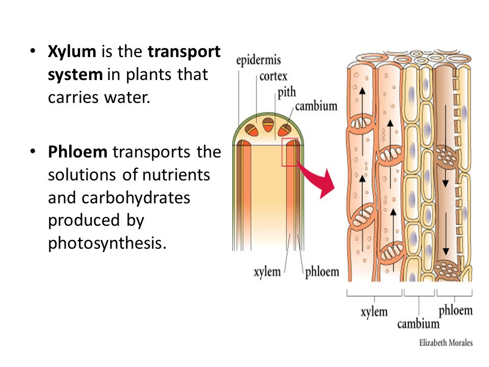Xylum is the transport system in plants that carries water.