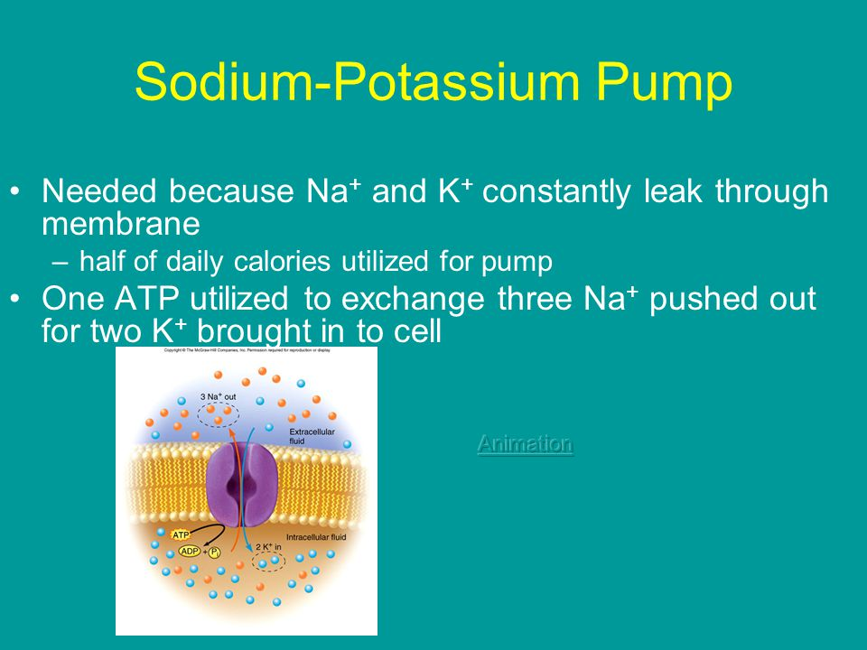 Sodium-Potassium Pump Needed because Na + and K + constantly leak through membrane –half of daily calories utilized for pump One ATP utilized to exchange three Na + pushed out for two K + brought in to cell