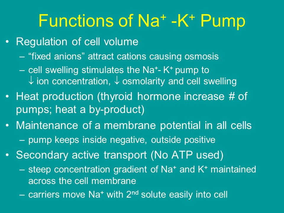 Functions of Na + -K + Pump Regulation of cell volume – fixed anions attract cations causing osmosis –cell swelling stimulates the Na + - K + pump to  ion concentration,  osmolarity and cell swelling Heat production (thyroid hormone increase # of pumps; heat a by-product) Maintenance of a membrane potential in all cells –pump keeps inside negative, outside positive Secondary active transport (No ATP used) –steep concentration gradient of Na + and K + maintained across the cell membrane –carriers move Na + with 2 nd solute easily into cell
