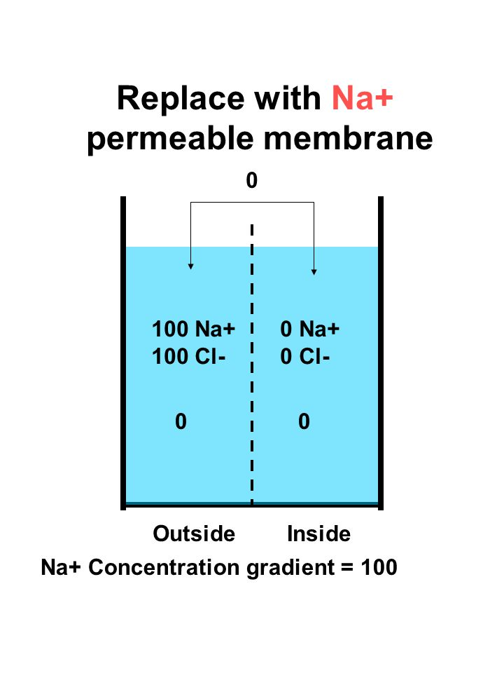 100 Na+ 100 Cl- 0 Na+ 0 Cl- Replace with Na+ permeable membrane 0 00 OutsideInside Na+ Concentration gradient = 100