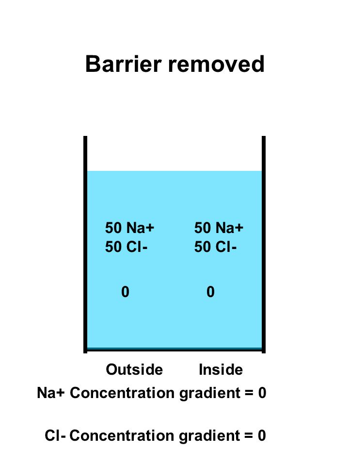 50 Na+ 50 Cl- 50 Na+ 50 Cl- OutsideInside Barrier removed 00 Na+ Concentration gradient = 0 Cl- Concentration gradient = 0