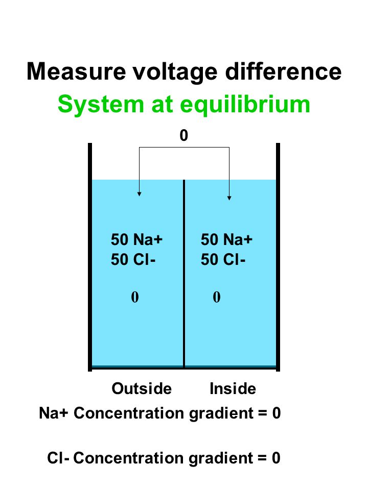 50 Na+ 50 Cl- 50 Na+ 50 Cl- 00 OutsideInside Measure voltage difference 0 Na+ Concentration gradient = 0 Cl- Concentration gradient = 0 System at equilibrium