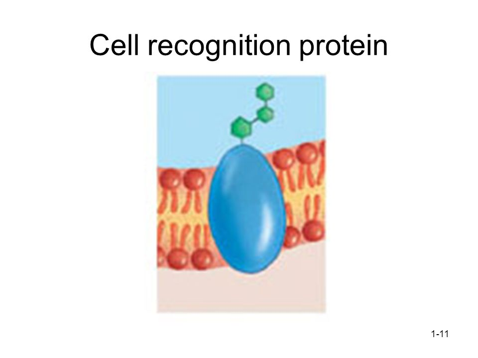 1-11 Cell recognition protein